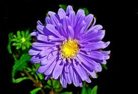 Aster Flower: Definition, Types & Leaves - Biology Class   Study.com